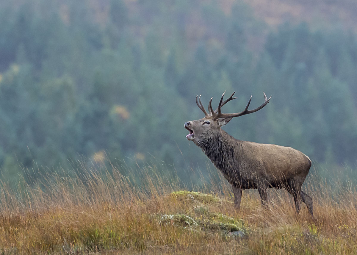 Red Stag Rut WorkShop