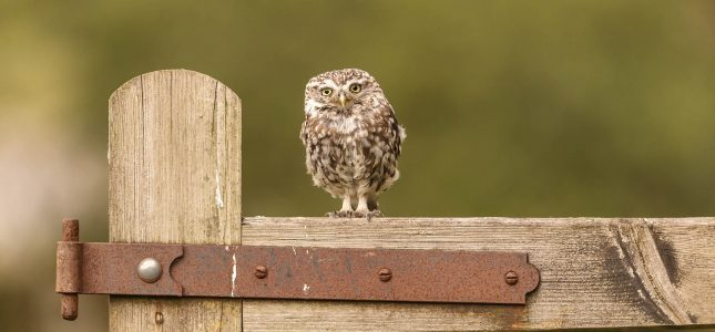 paul-fowlie-little-owls-hide-hire