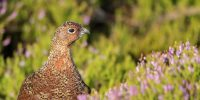 Red Grouse Workshop