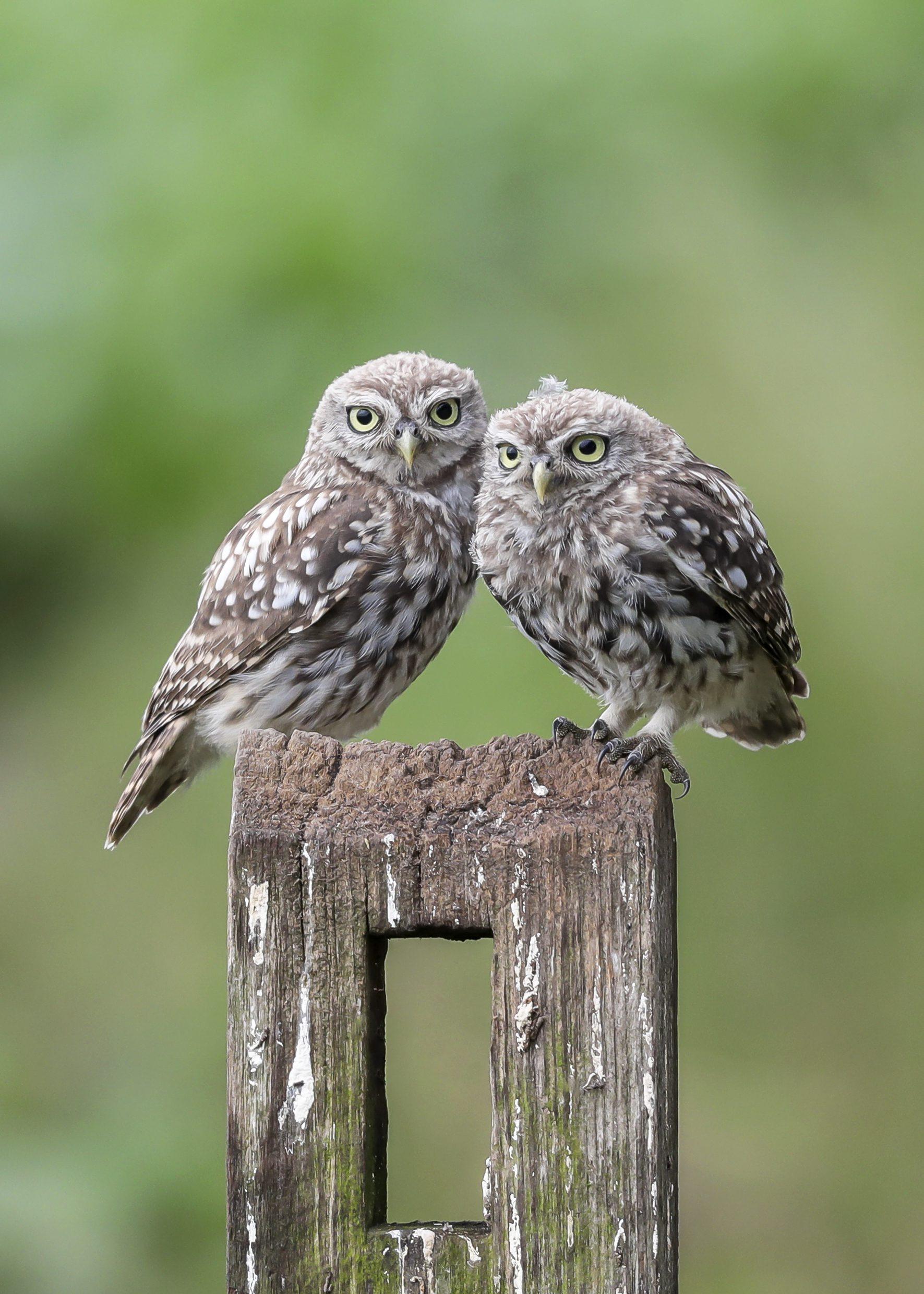 2 Little Owls