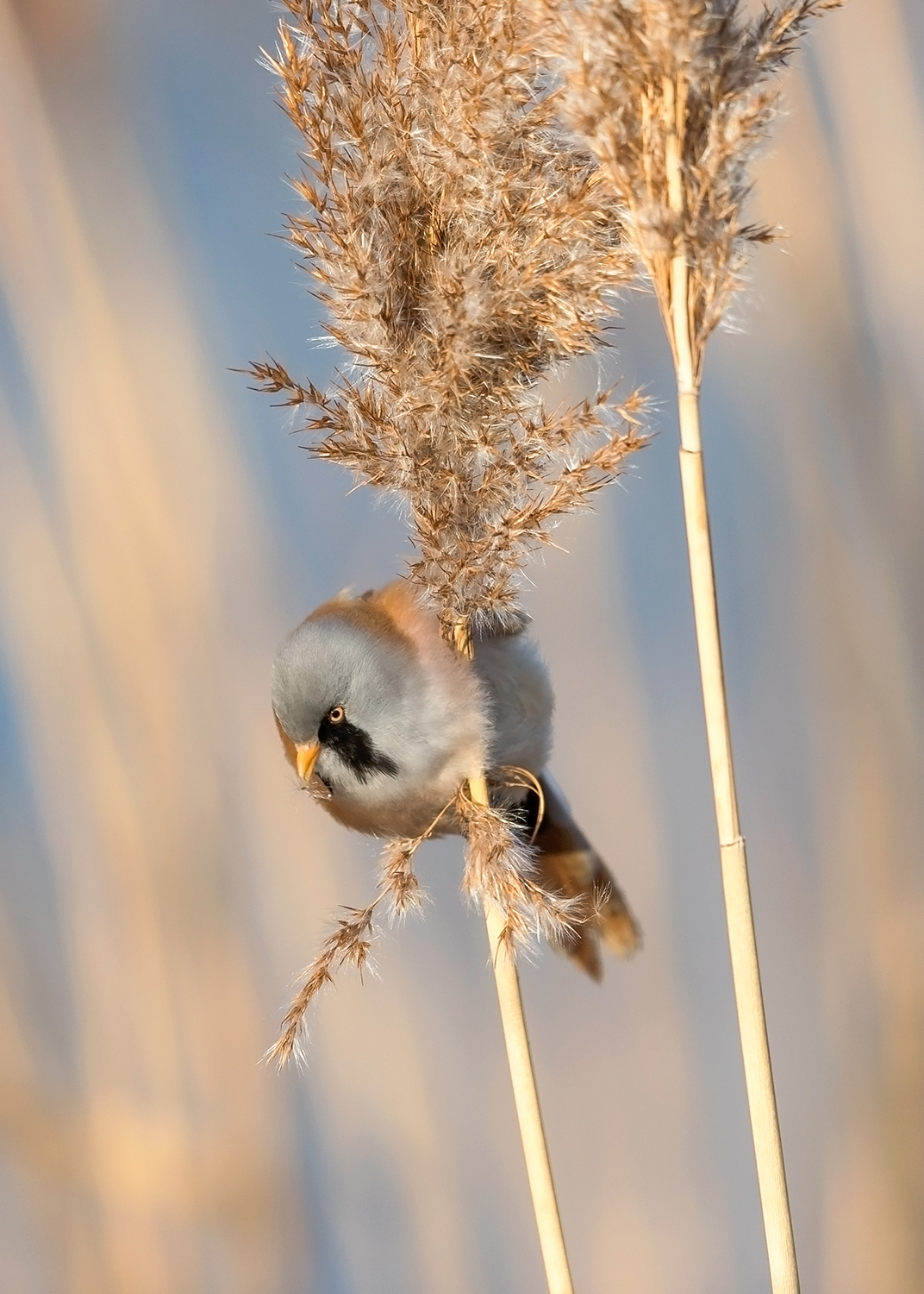 Bearded Tit on grass