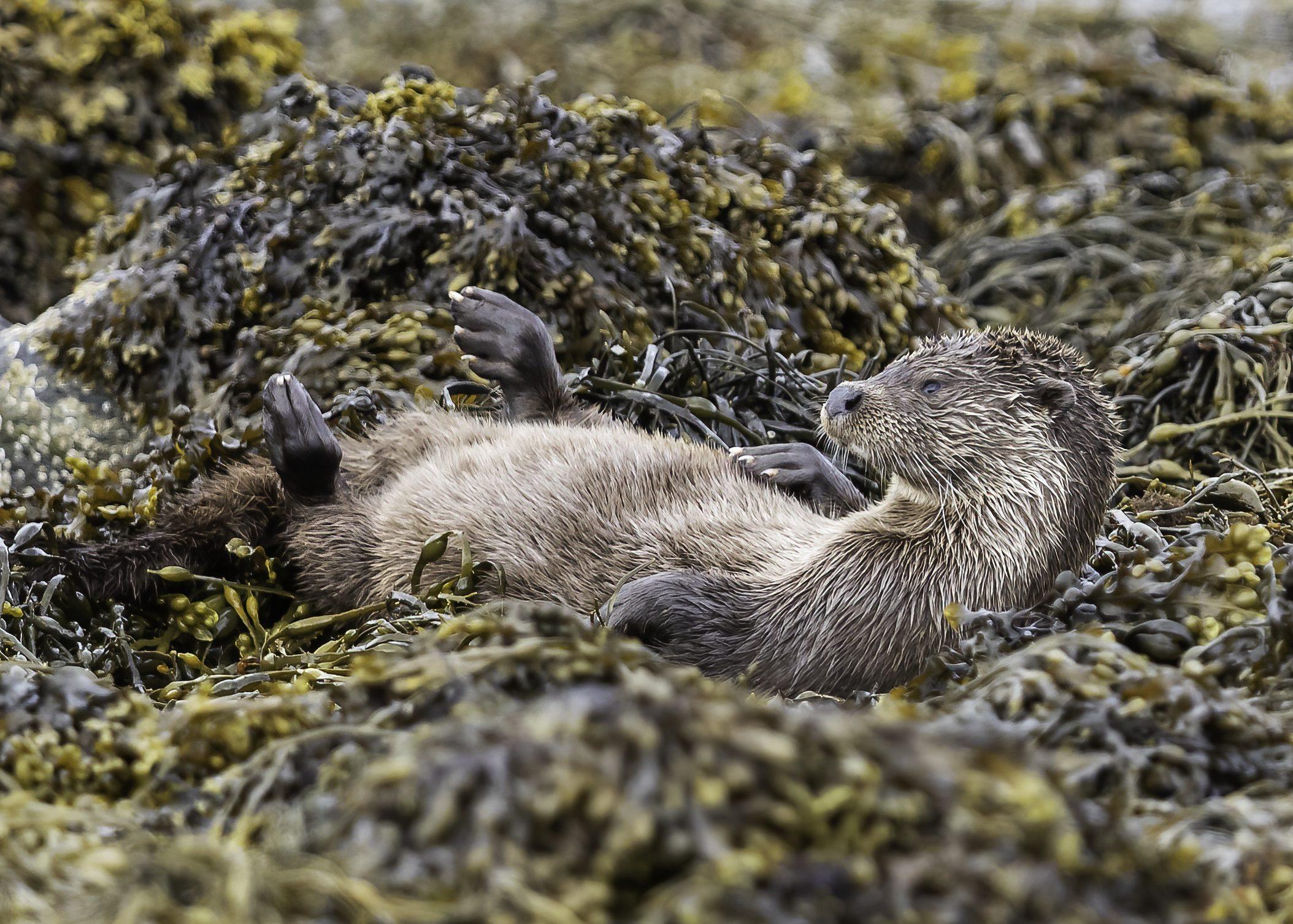 Dog Otter lying on back