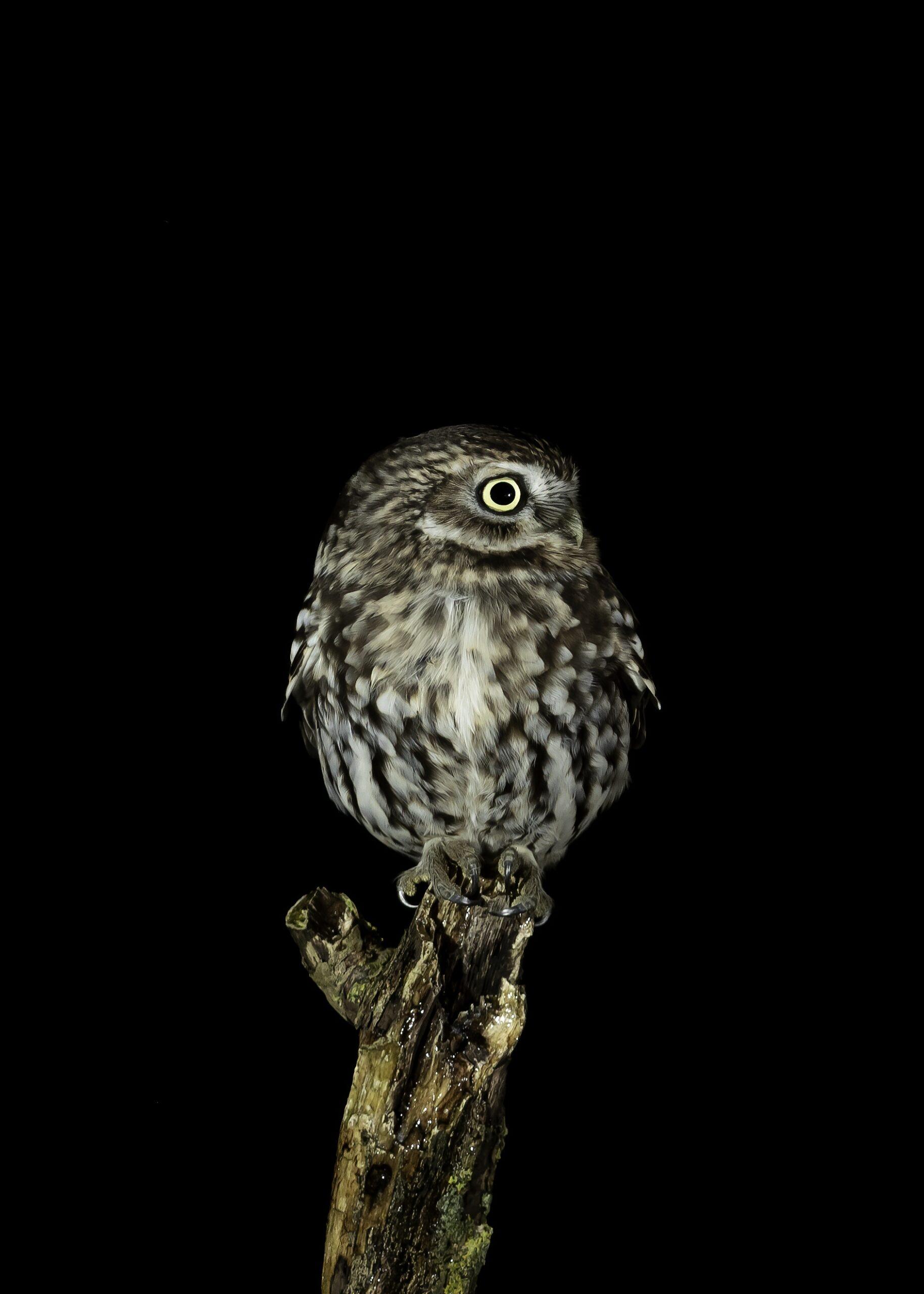 Little Owl sitting alert