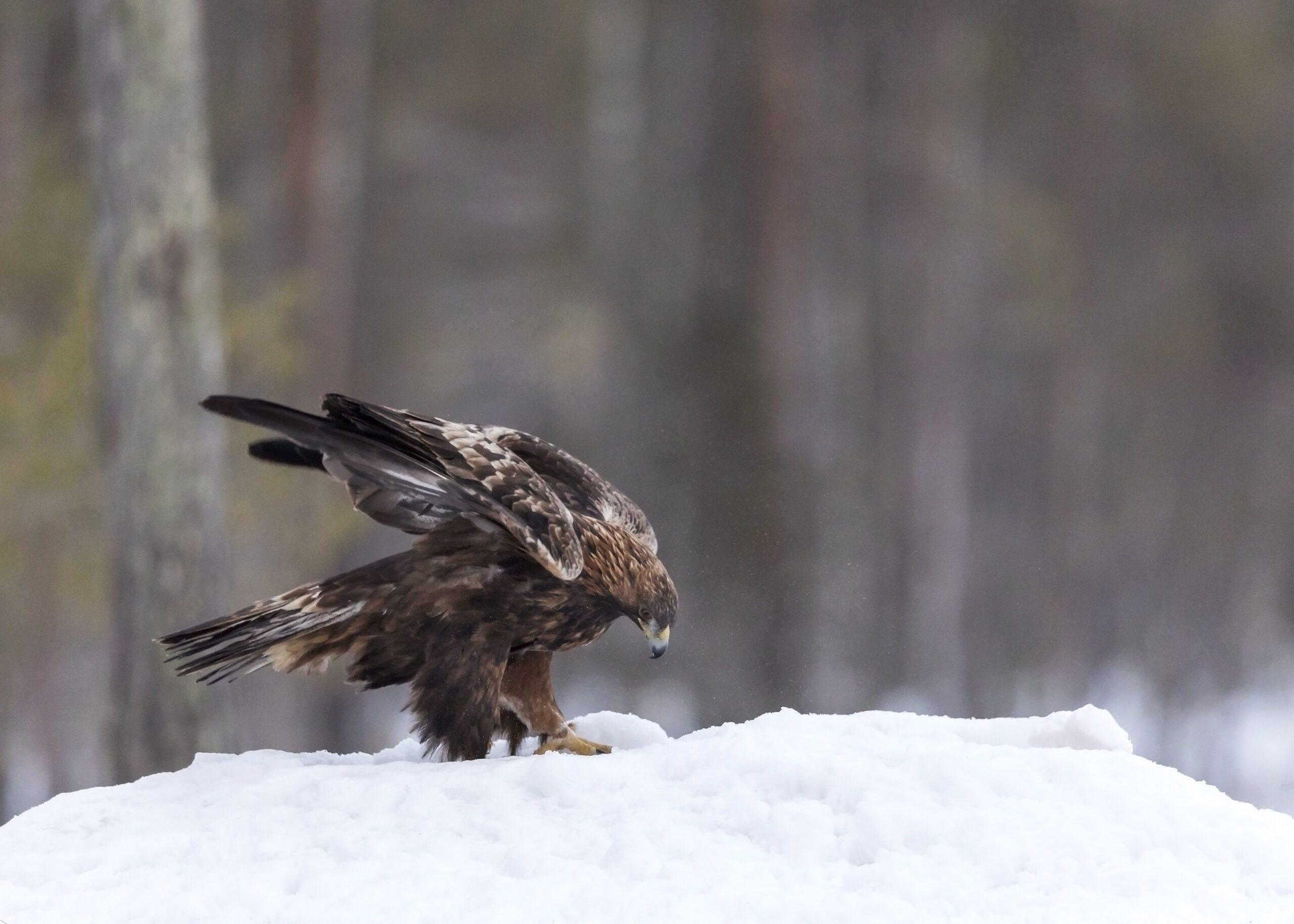 Golden Eagle wings open