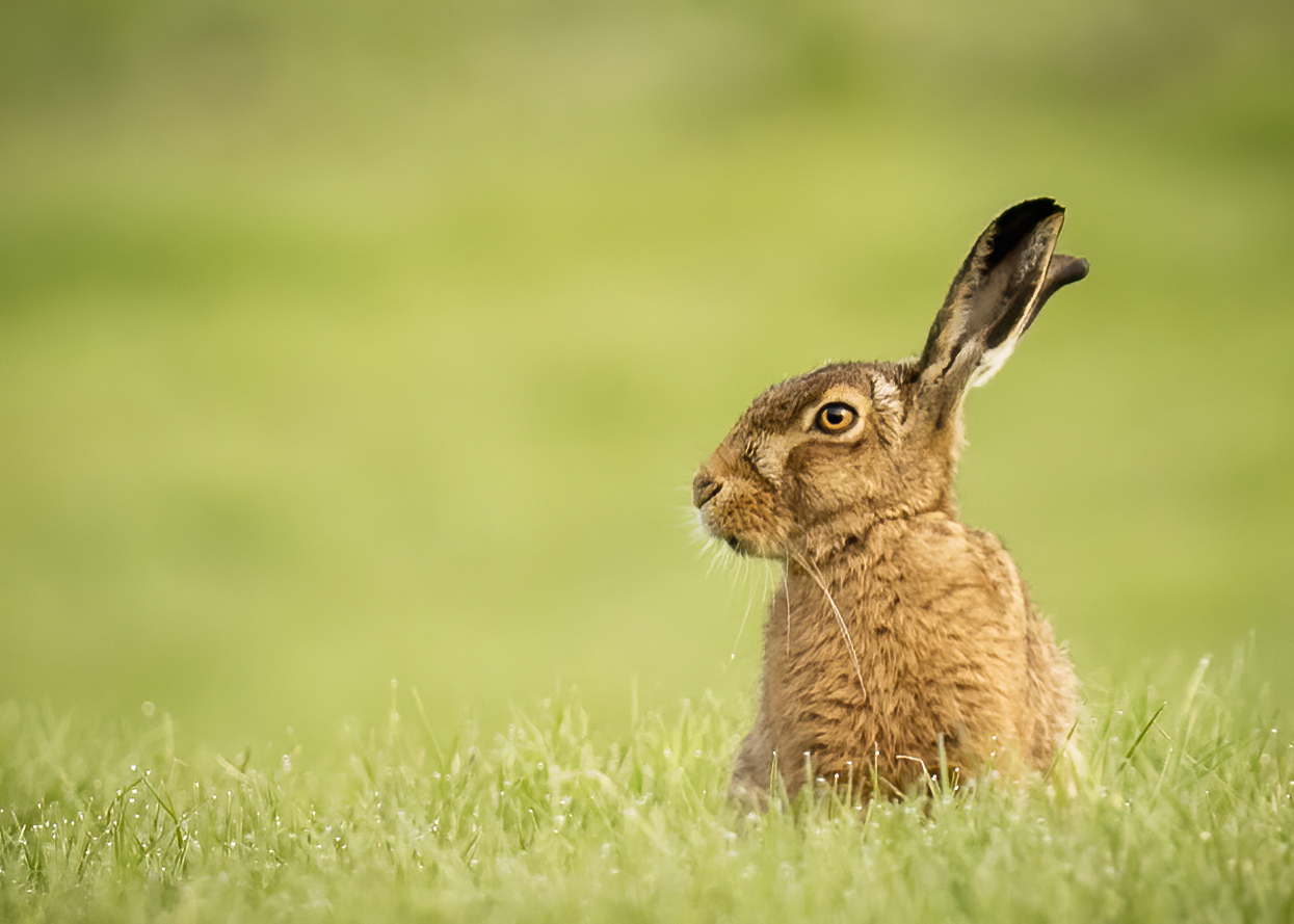 Hare facing right