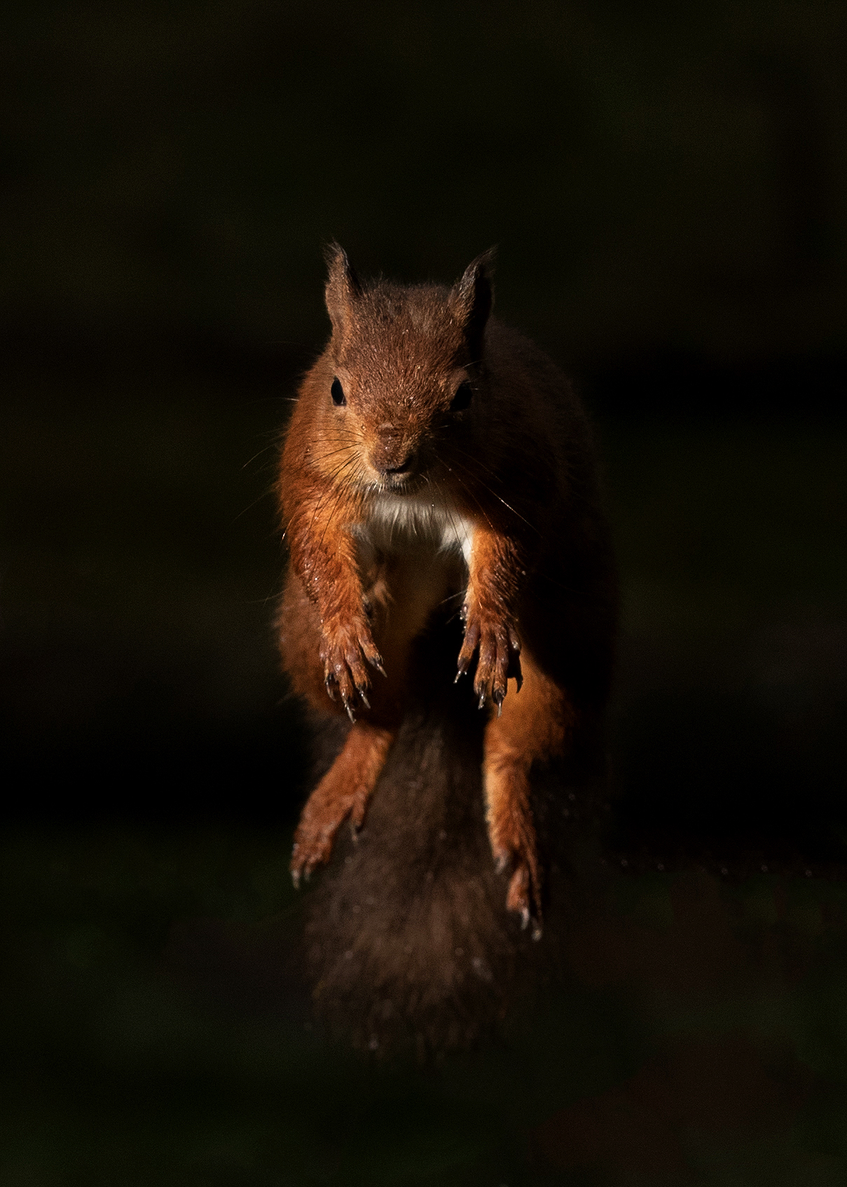 Jumping Red Squirrel with side light