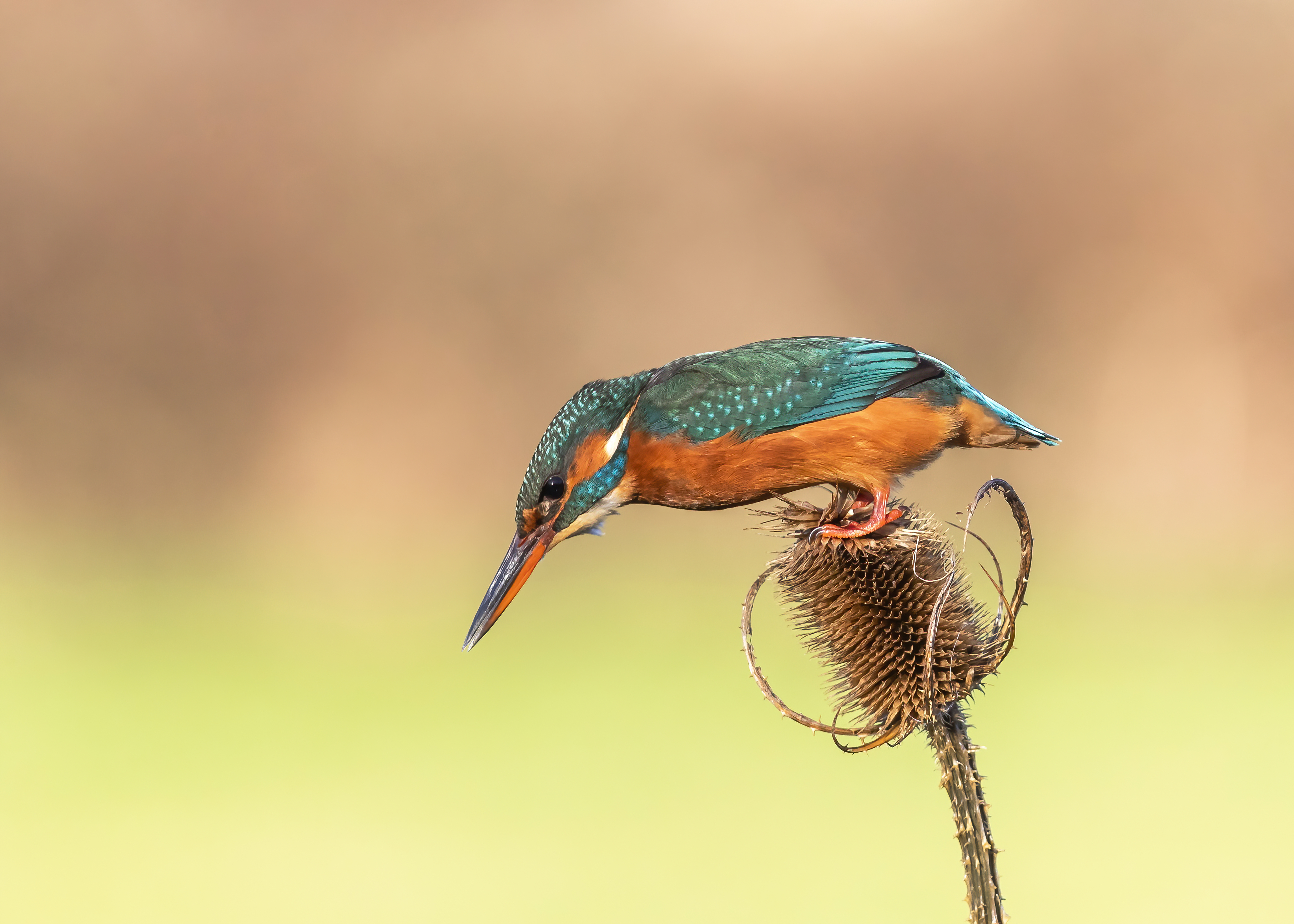 Kingfisher leaning over teasel