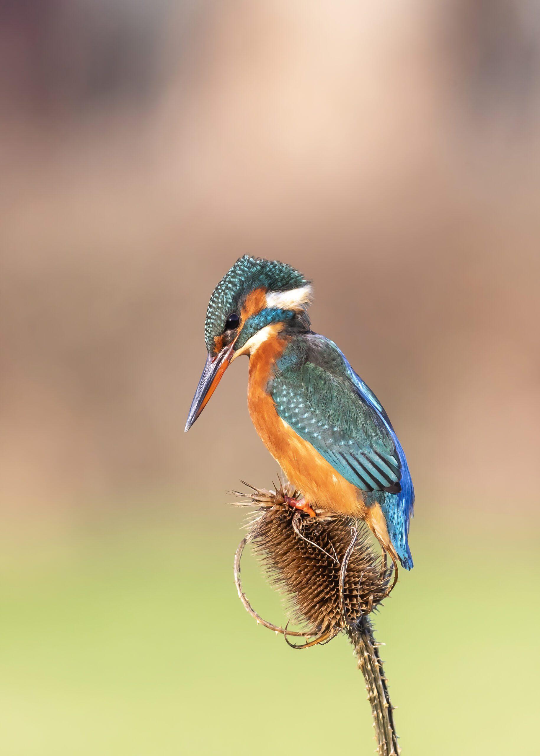 Kingfisher on a Teasel