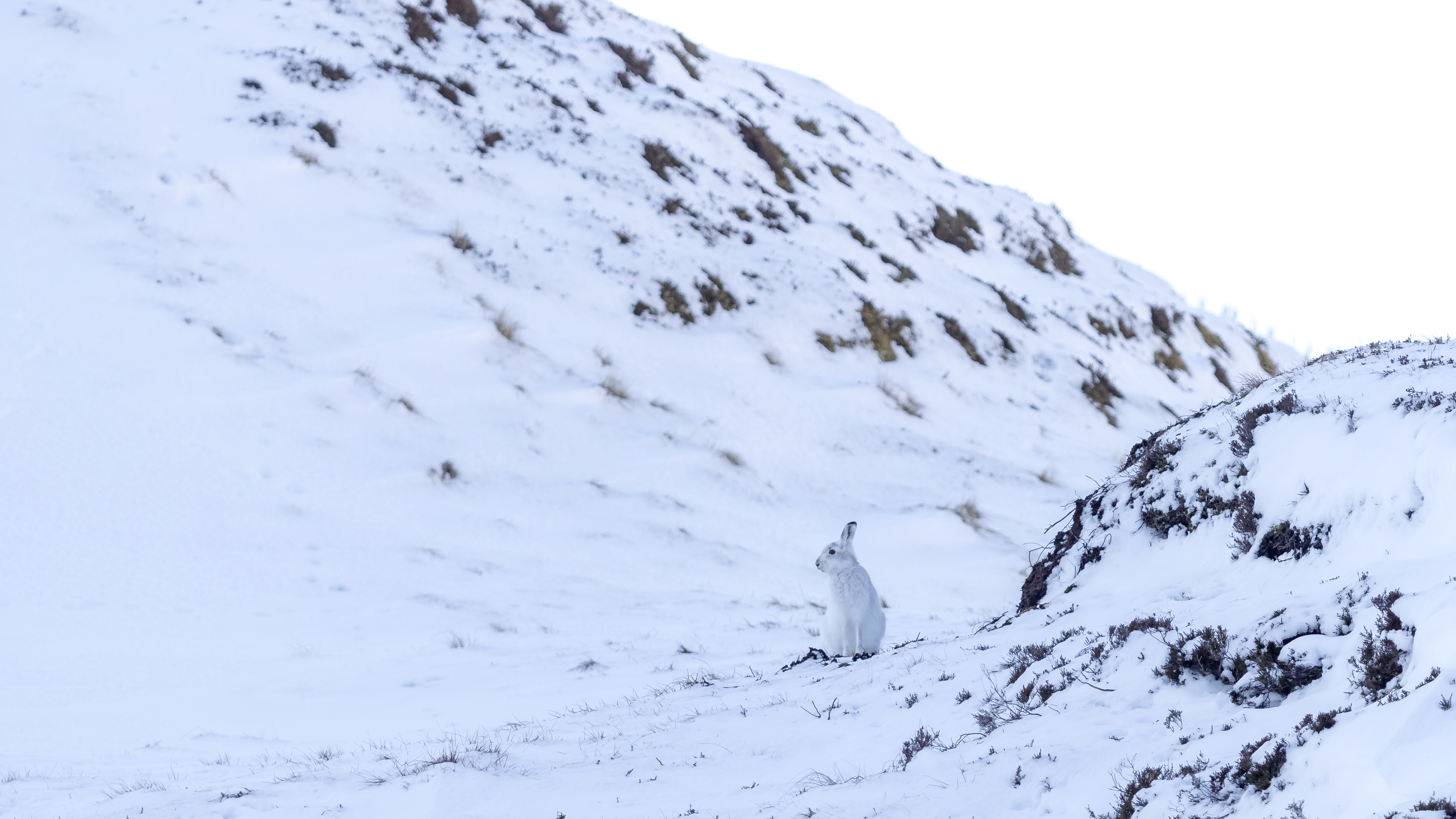 Mountain Hare sitting on watch duty