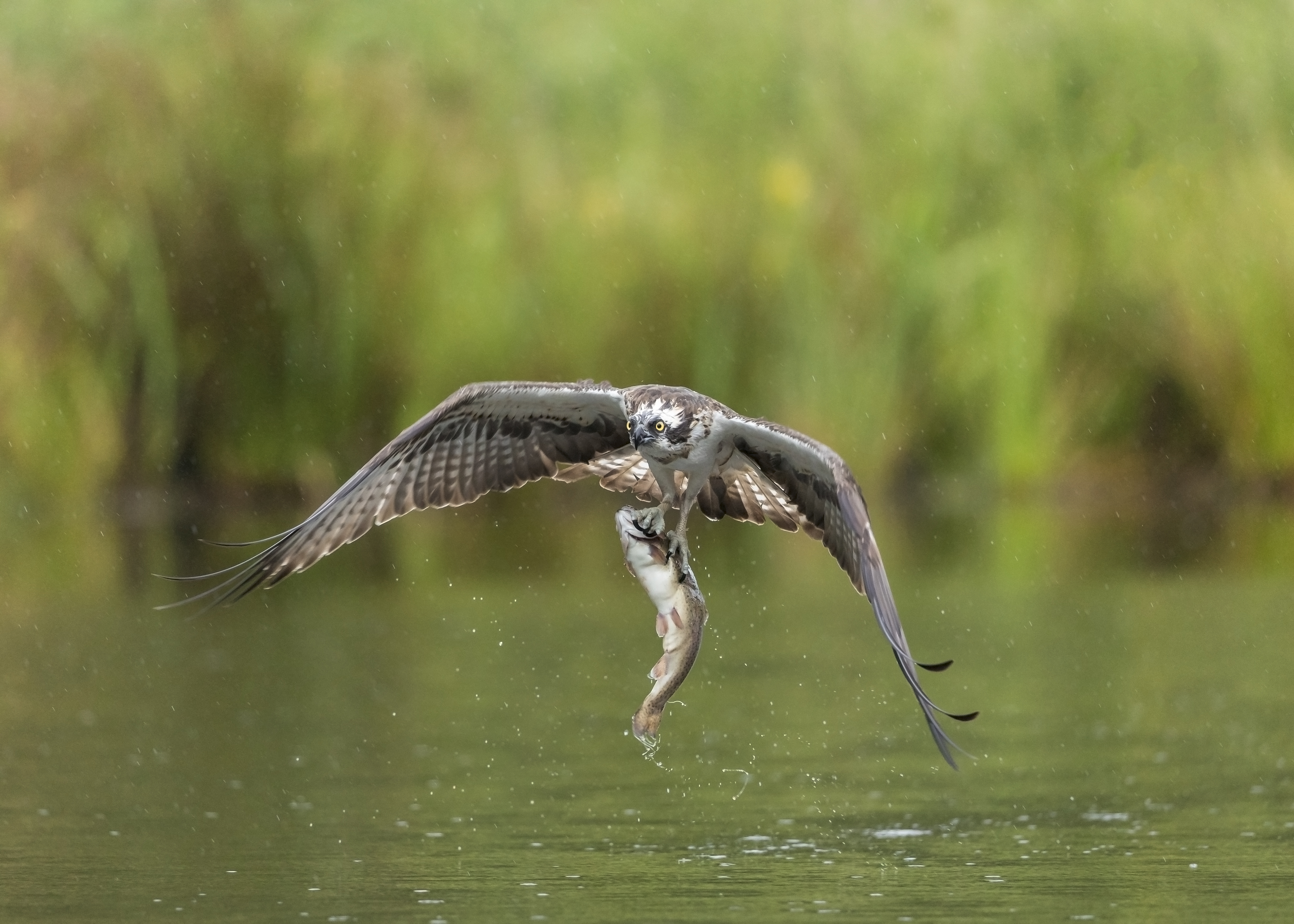 Osprey head on with fish