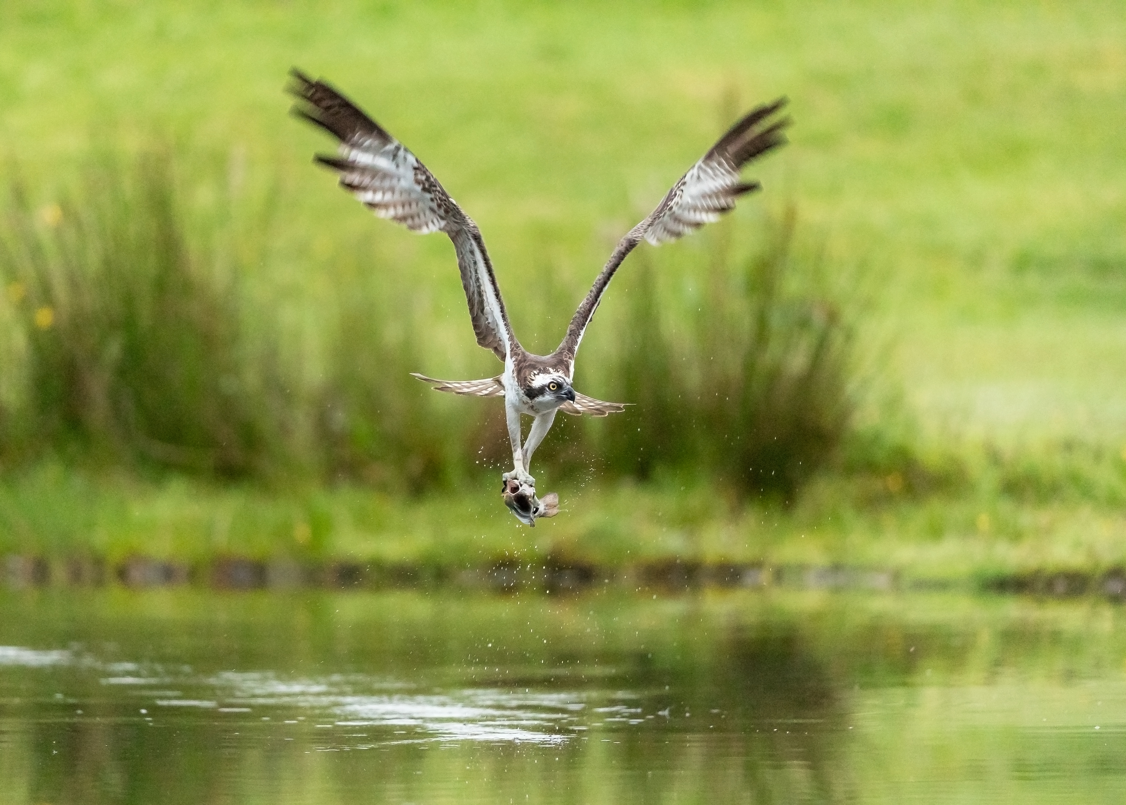 Osprey with fish mouth open