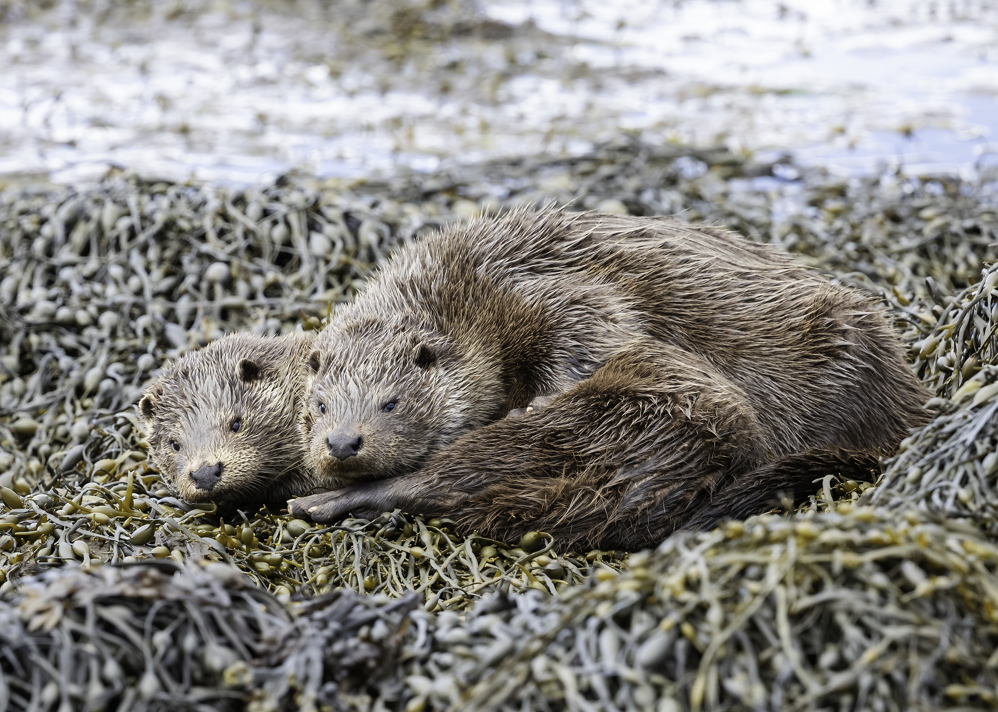 Otter and cub lying together