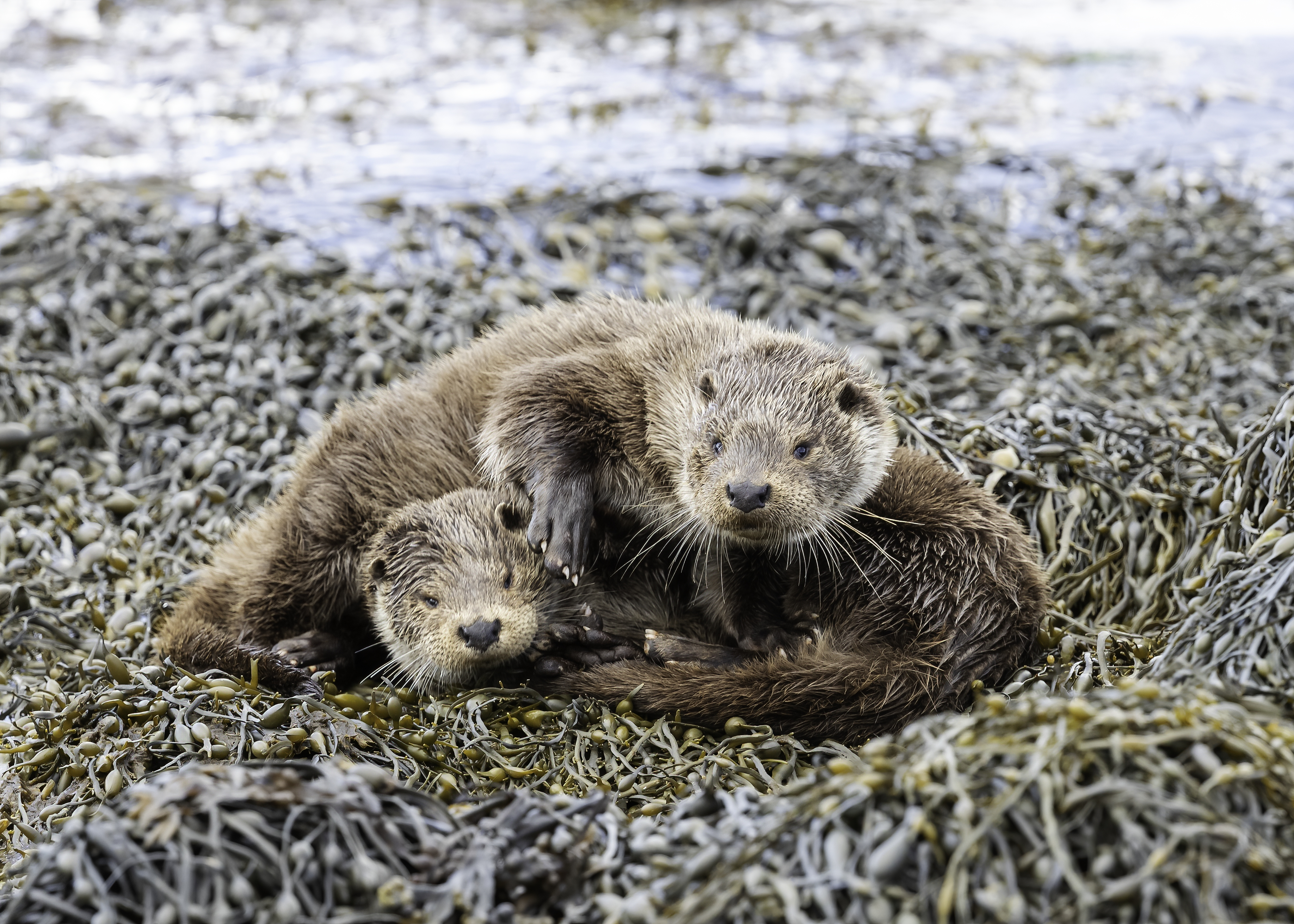 Otter lying on top of cub
