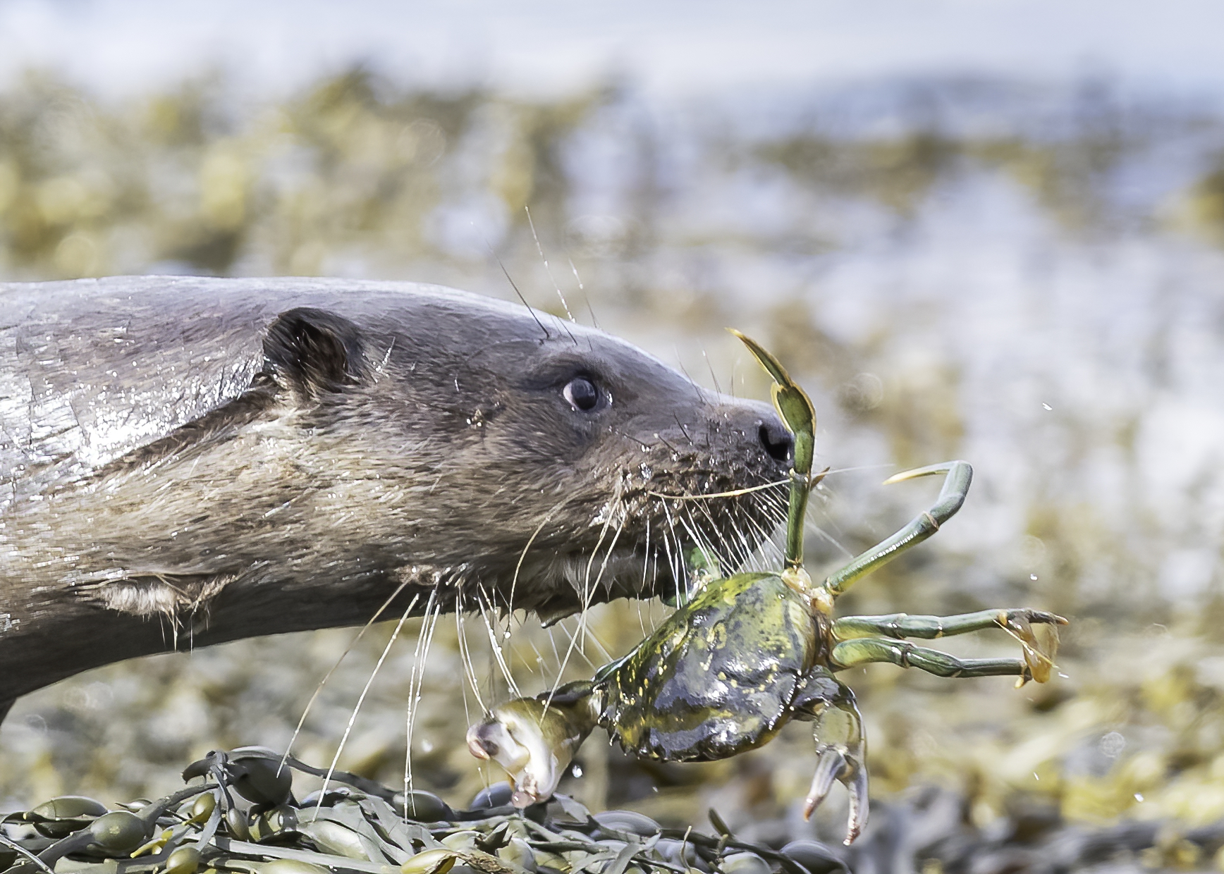 Otter with crab