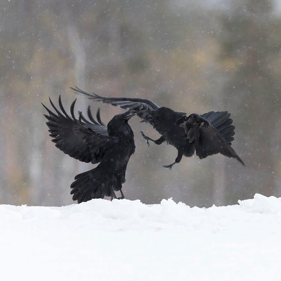 Ravens fighting