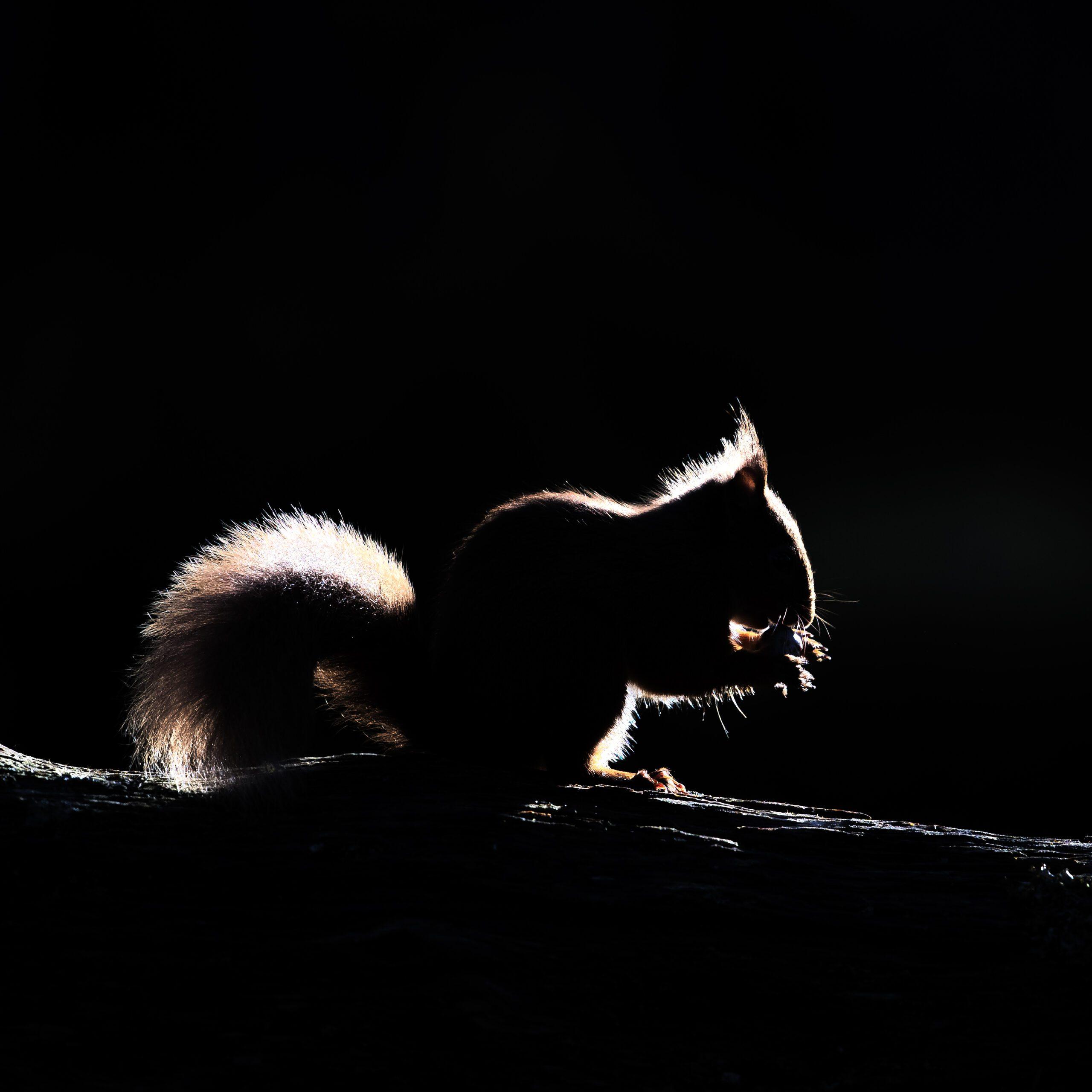 Red Squirrel Backlit
