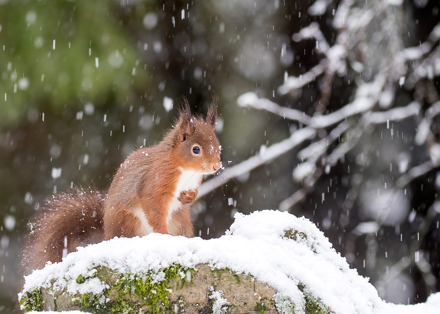 Red Squirrel on wall in snow