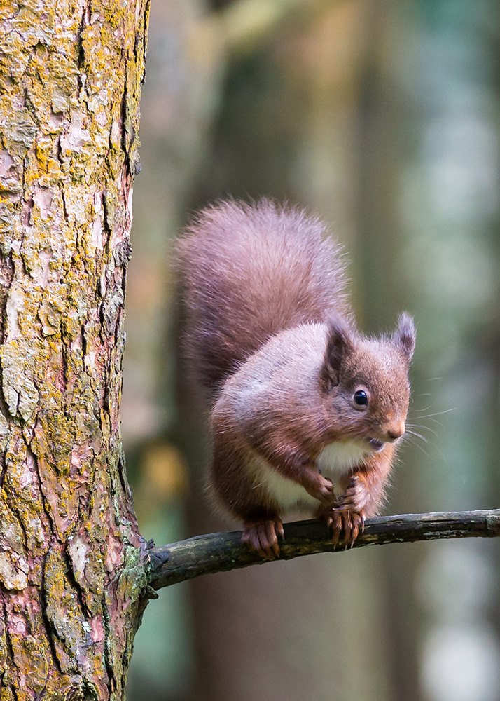 Red Squirrel smiling