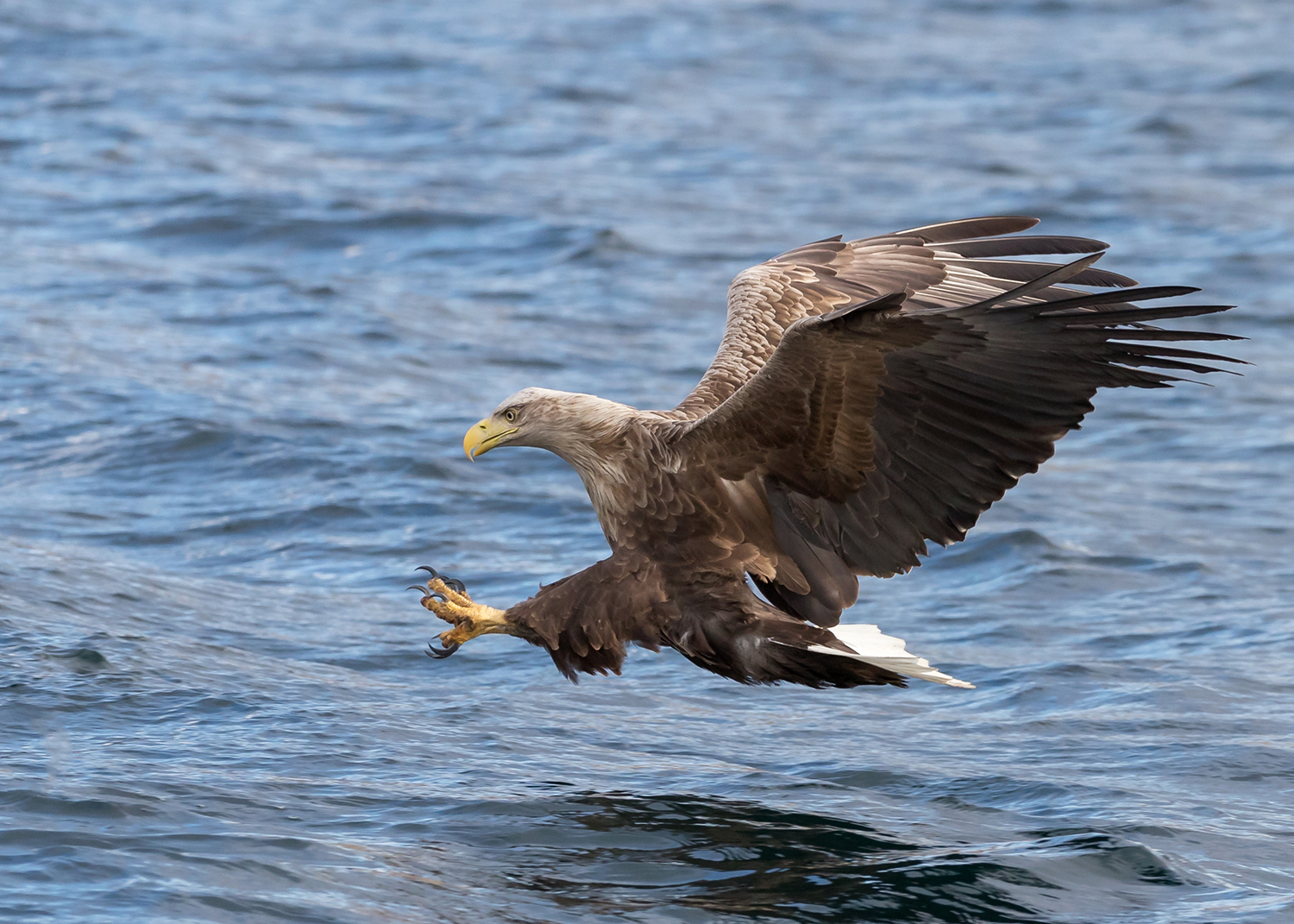 White Tailed Eagle diving for a fish