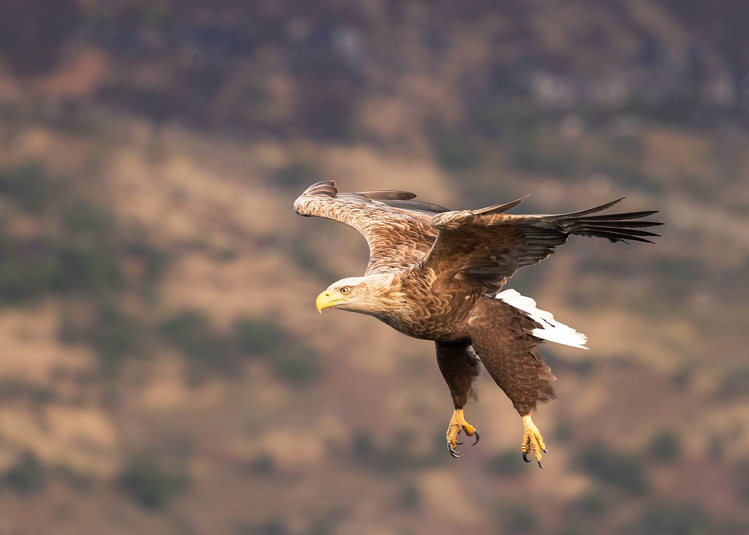 White Tailed Eagle flying