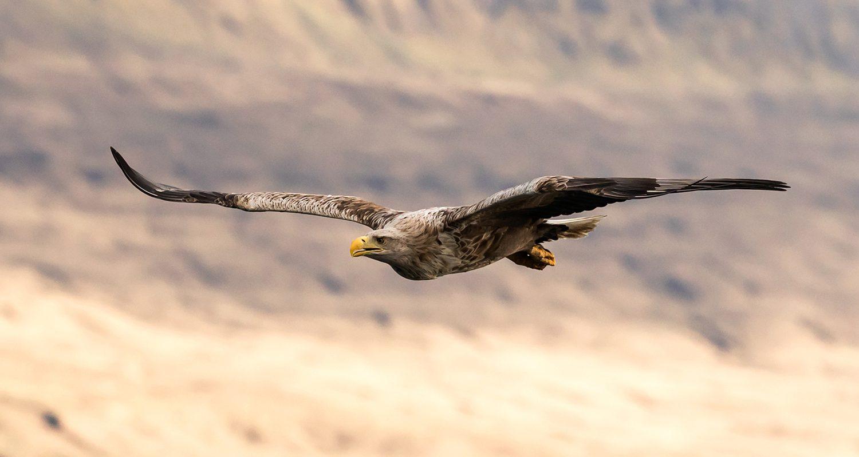White Tailed Eagle soaring