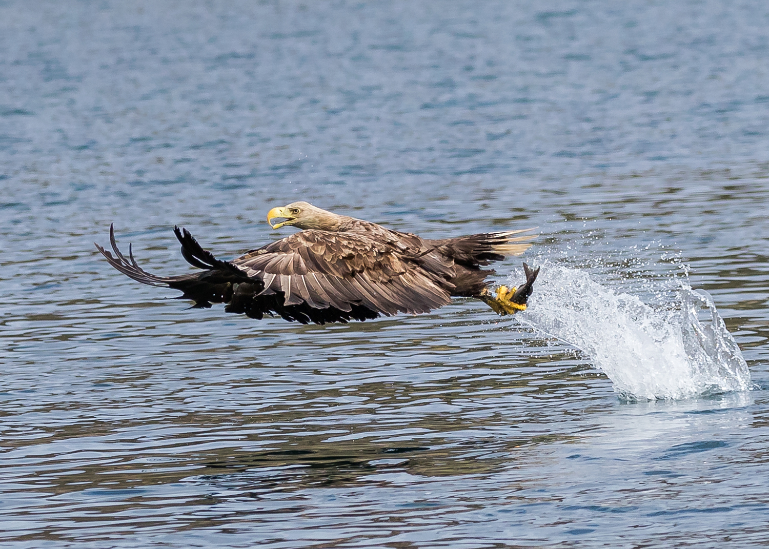 White Tailed Eagle catching a fish