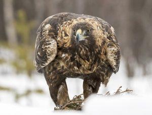 Golden Eagle-2