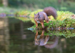 Red Squirrel Hides